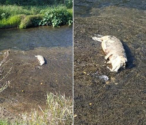 Наразі невідомо, чи хтось викинув у воду вже мертве тіло тварини, або ж свиня сама втопилася у річці.