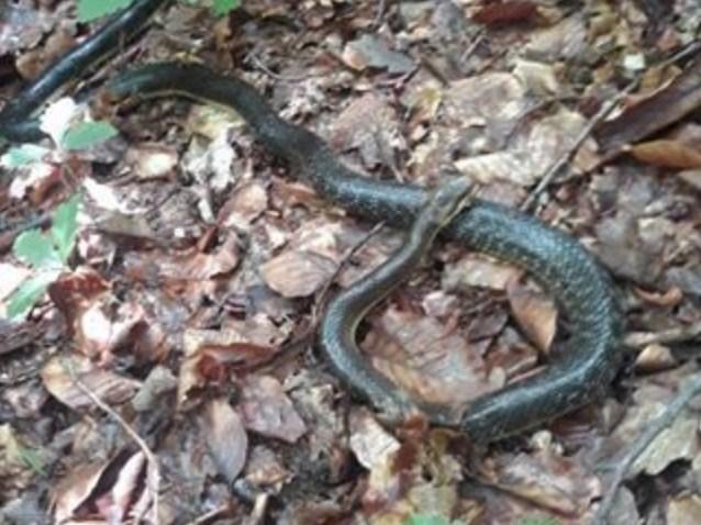 Закарпатець зняв величезну змію у лісі на Свалявщині.