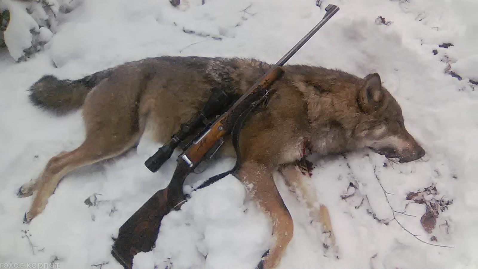 Мисливець-поліцай вполював вовка