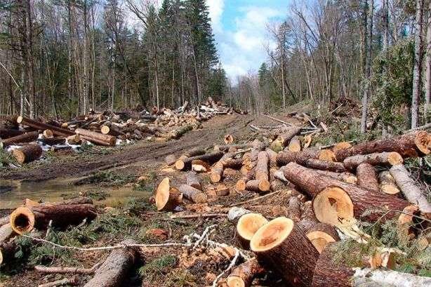 Закарпатцю оголошено про підозру у незаконній порубці дерев на території Чорнотисянського лісництва ДП «Ясінянське лісомисливське господарство».