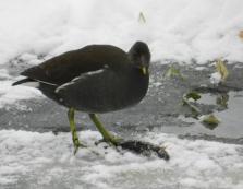 В Закарпатті до вже звичних качок додалися ще водяні курочки