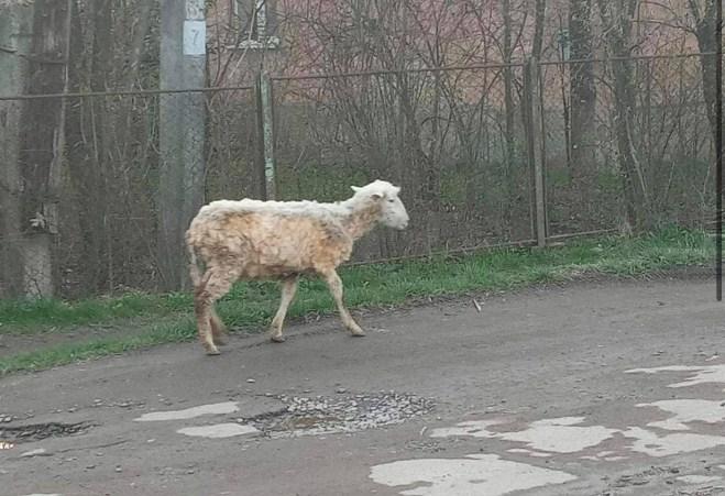 Владельцы животного разыскиваются в Сваляве.