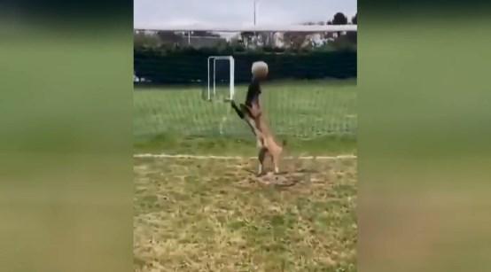 Пес відмінно відбив м'яч не пропустивши його до воріт.