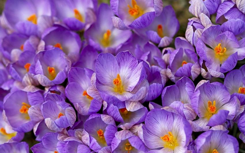 Килими шафрану вкривають весняні поля. Найбільше первоцвіту у Виноградівському, Мукачівському та Міжгірському районах.