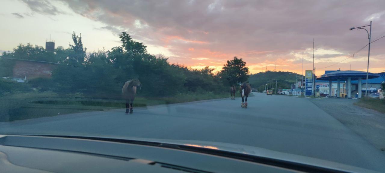 Уже не вперше в Мукачеві можна побачити коней, які прогулюються врізних частинах міста.