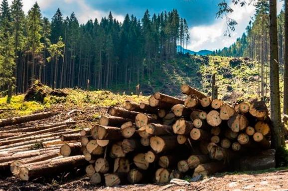 Закарпатська обласна прокуратура продовжує системну роботу щодо виявлення та викриття злочинів у сфері охорони лісових ресурсів.