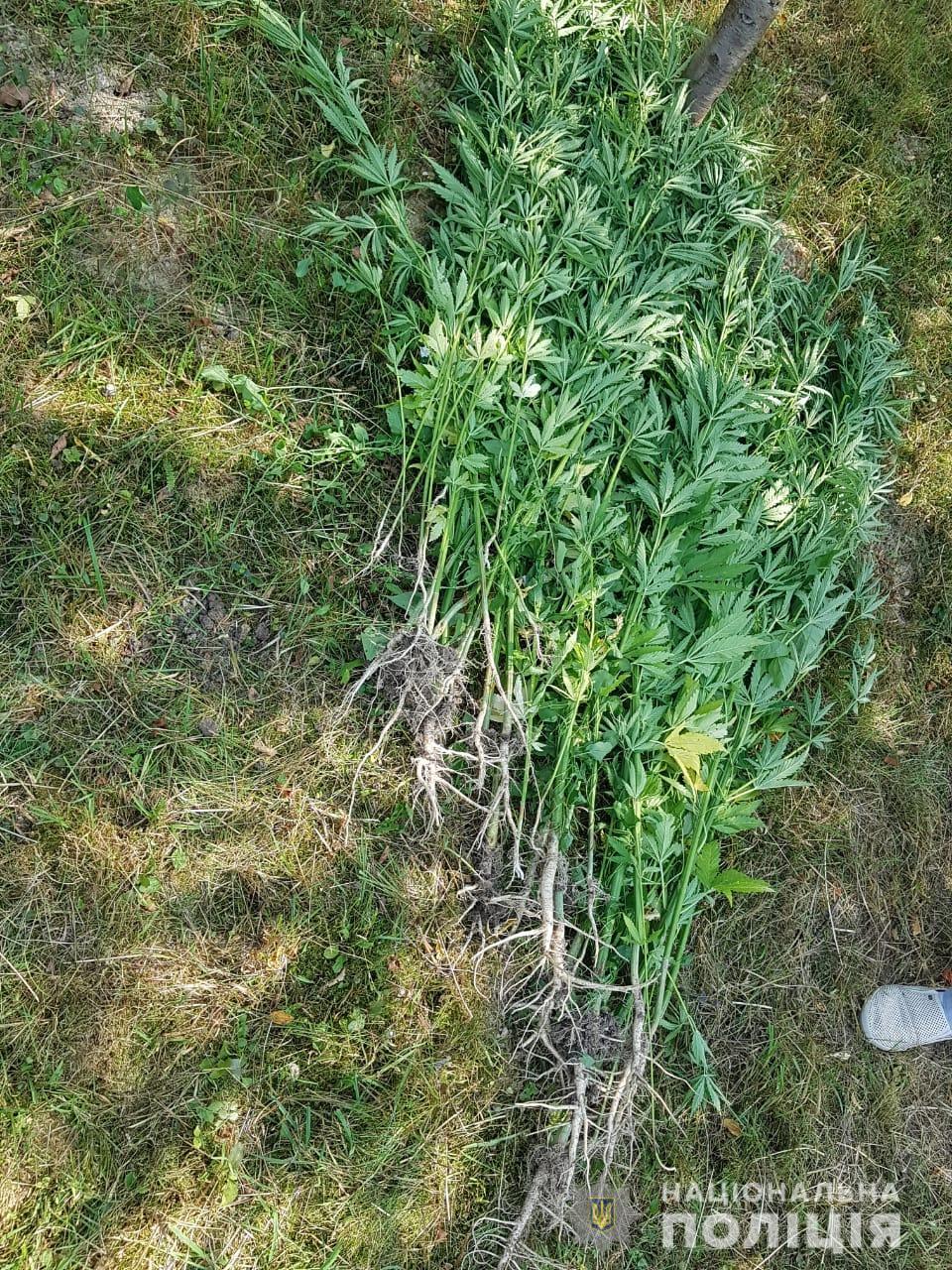 Днями у рамках операції «Мак», яка триває на території всієї України, поліцейські Рахівщини виявили незаконний посів нарковмісних рослин коноплі.