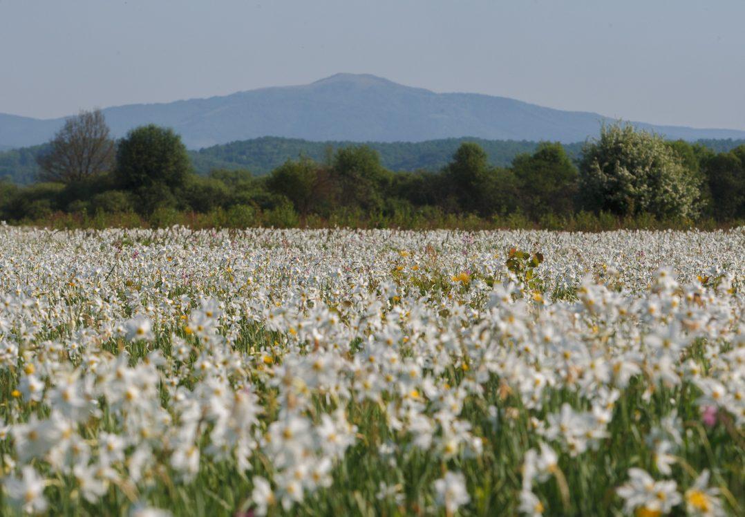 У Долині нарцисів на Закарпатті розцвіли гектари квітів / ФОТО