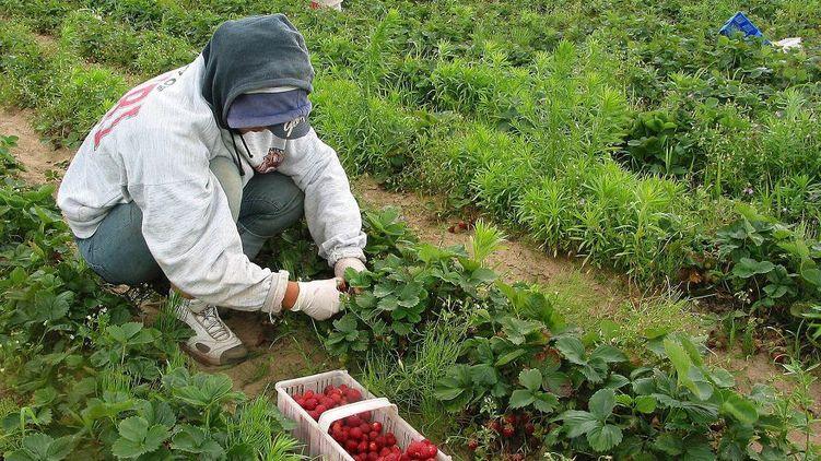 Українці в Польщі втрачають заробітки - урожай вбили зливи, а ставки знижують через карантин.