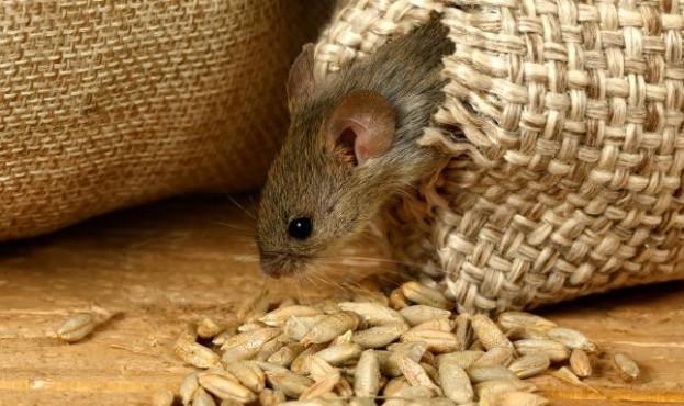 У фонді Державного резерву провели аудит і виявили велику недостачу зерна. Збитки оцінюються в 800 мільйонів.