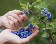 Лохина — єдина ягода, яка цьогоріч коштувала дешевше, ніж у 2018-му