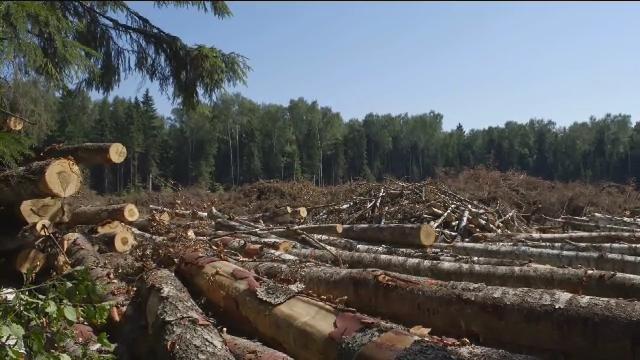 Установлено, що через службову недбалість службовець, неналежно здійснюючи охорону лісу, упродовж жовтня 2015 – квітня 2016 років допустила самовільну рубку дерев: дубу, грабу та модрини.