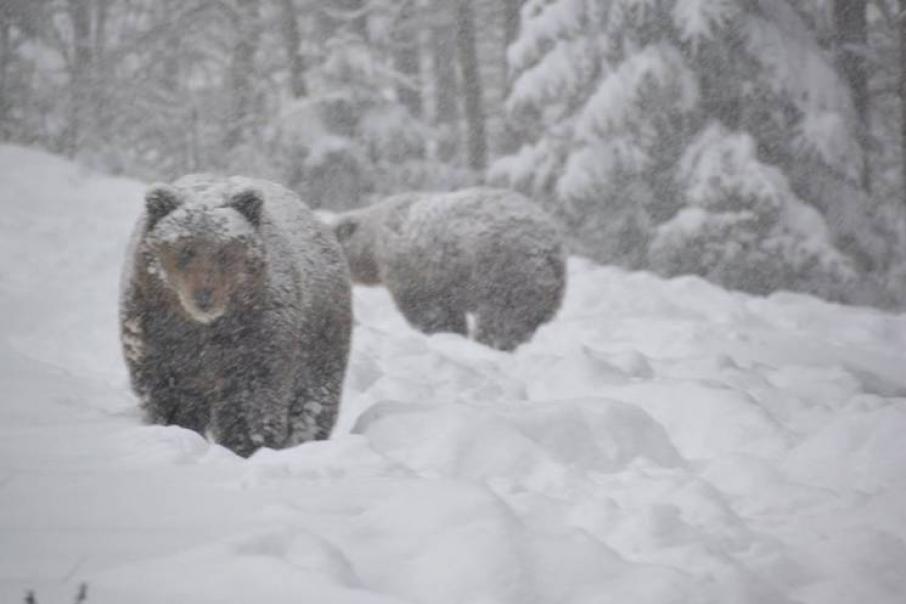 Ведмеді  досі не впали у зимову сплячку
