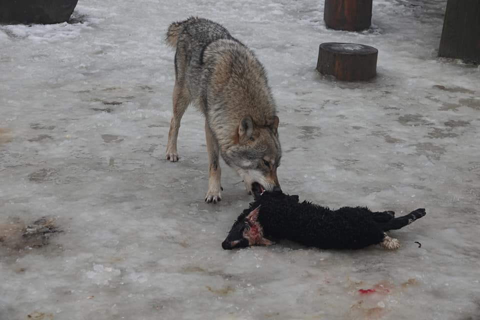 Голодні вовки загризли овець