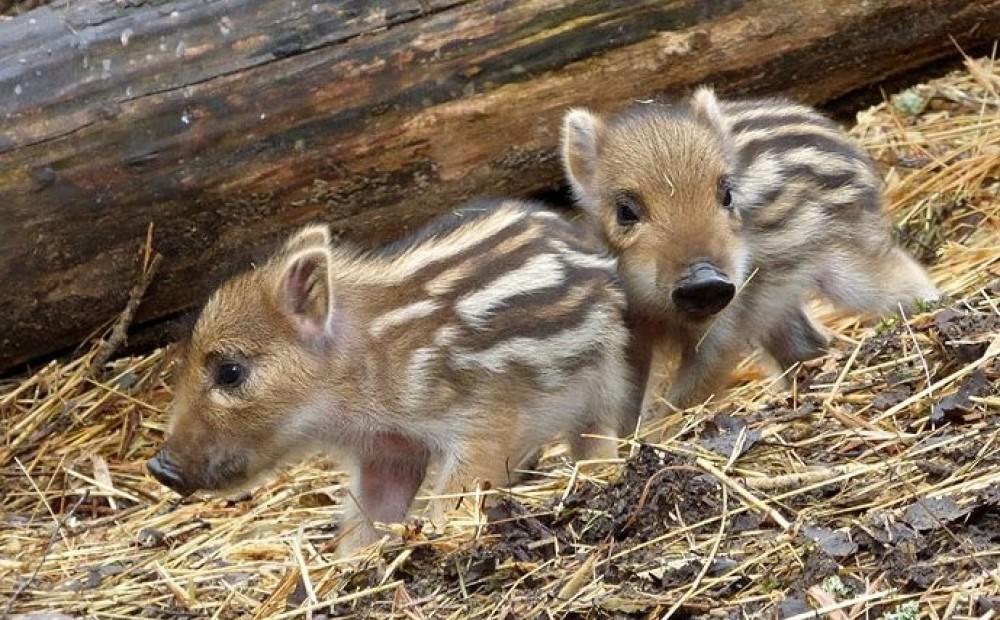 У весняно-літній період для більшості диких звірів настає сезон парування й народження потомства.