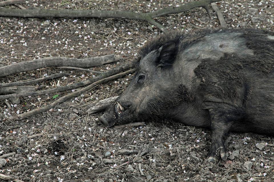 Мисливці знаходять багато мертвих кабанів, які згинули на лежанках.