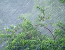 На Закарпатті пройшли сильнi зливовi дощi: на Латориці вода доходить до корінних берегів, несе дерева, кущi