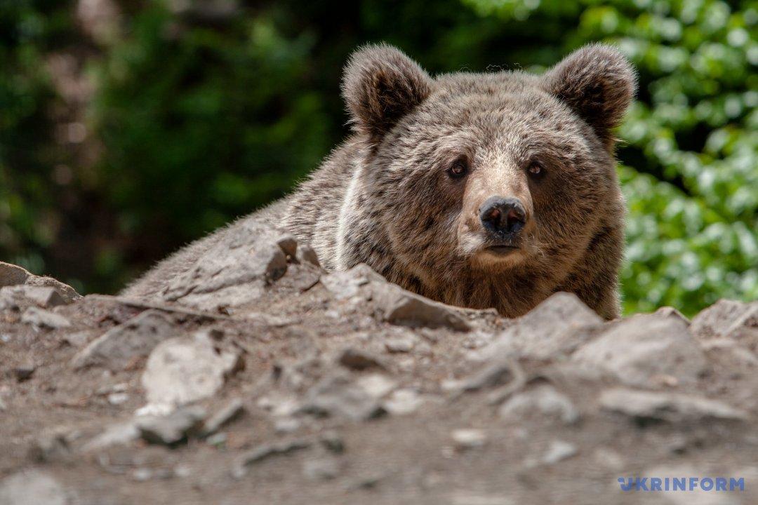 """Поряд з мамою: ведмеді НПП """"Синевир"""" привели потомство"""