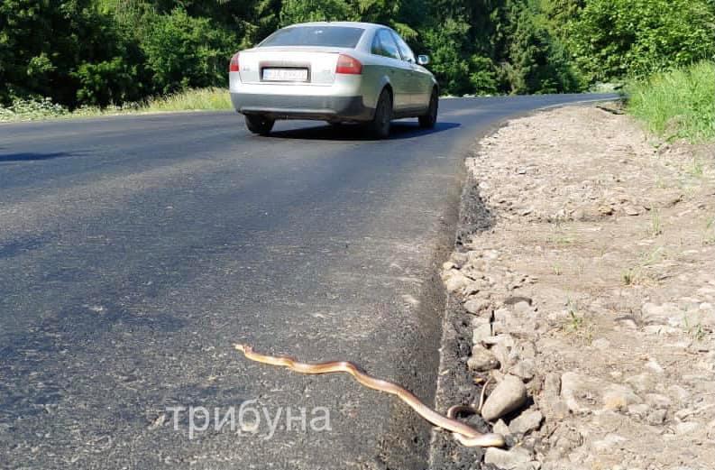 Капітальний ремонт дороги Ужгород – Ужок призвів до підвищення швидкості руху транспорту, що тягне за собою збільшення аварій, а також нещасних випадків представників фауни Ужанського нацпарку.