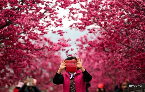 Перші сакури масово зацвіли в Китаї (ВІДЕО)