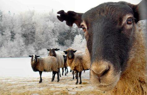 В гірській місцевості, поблизу Ділового, за 30 метрів від державного кордону прикордонники затримали шістьох вагітних овець.