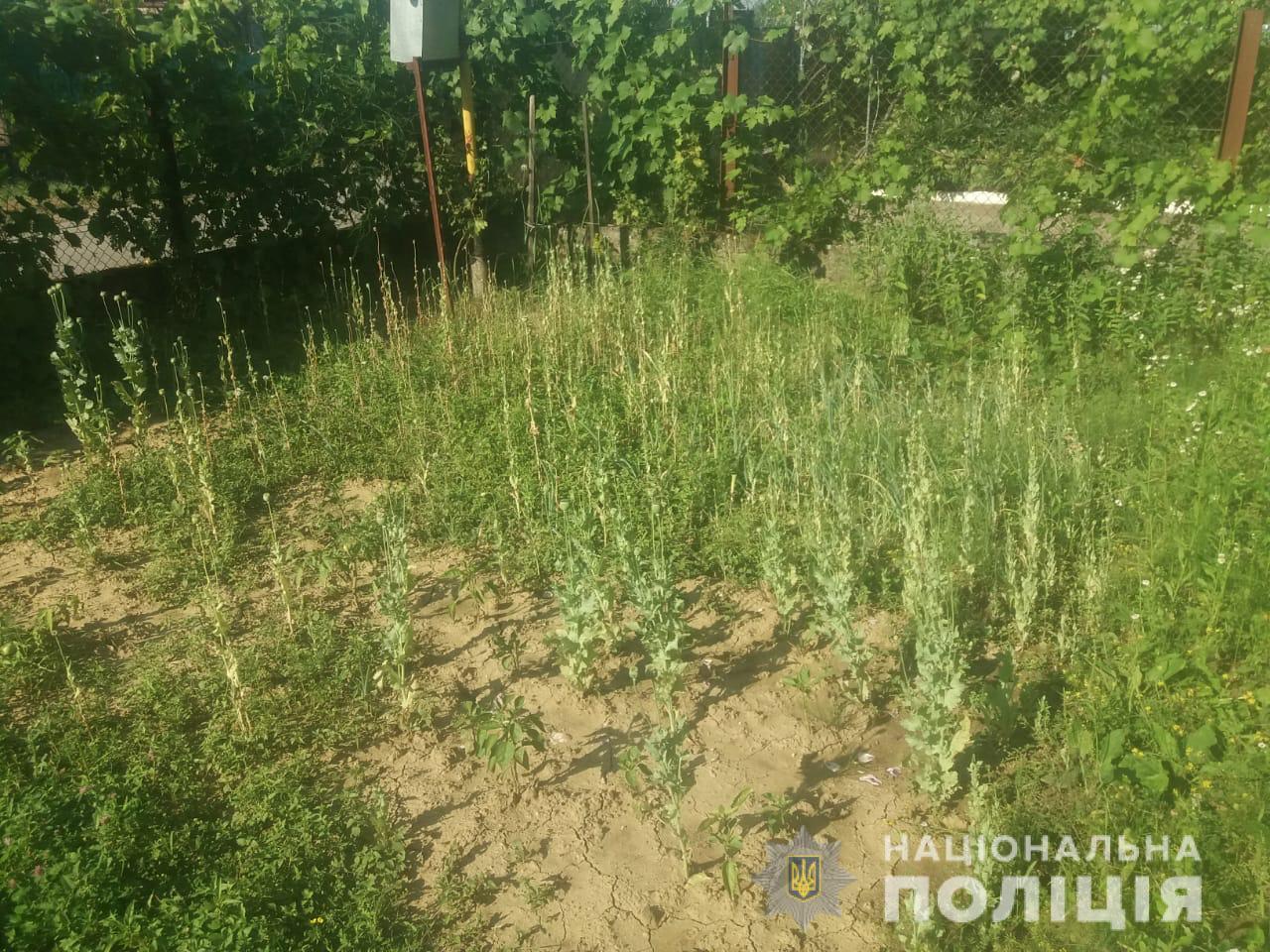 У Мукачівському та Рахівському районах співробітники кримінального блоку відділів поліції виявили незаконні посіви нарковмісної  рослини – снотворного  маку.