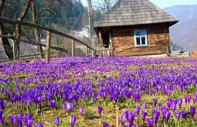 Названо ТОП-локації з весняними квітами на Закарпатті