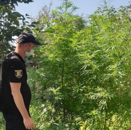 Слідчі Ужгородського відділення поліції, вчора 21 серпня провели обшук у мешканця села Дубрівка.