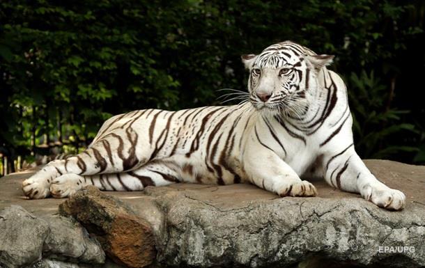 В Японії білий тигр загриз працівника зоопарку