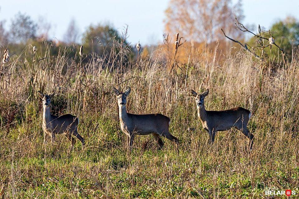 Мова йде про мешканців дикої природи – зайців, косуль, кабанів, лисиць.