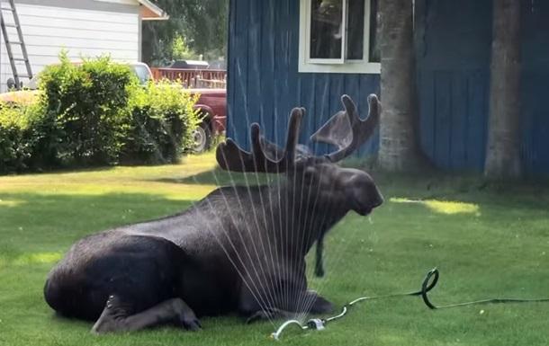 Щоб хоч трохи охолодитися у спекотну погоду тварина влаштувалася на газоні під зрошувачем.