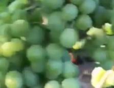На Закарпатті вже дозріли виноград та кавуни (ВІДЕО)