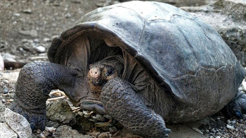 Генетичні тести підтвердили, що черепаха, виявлена в 2019 році, належить до виду Chelonoidis phantasticus.