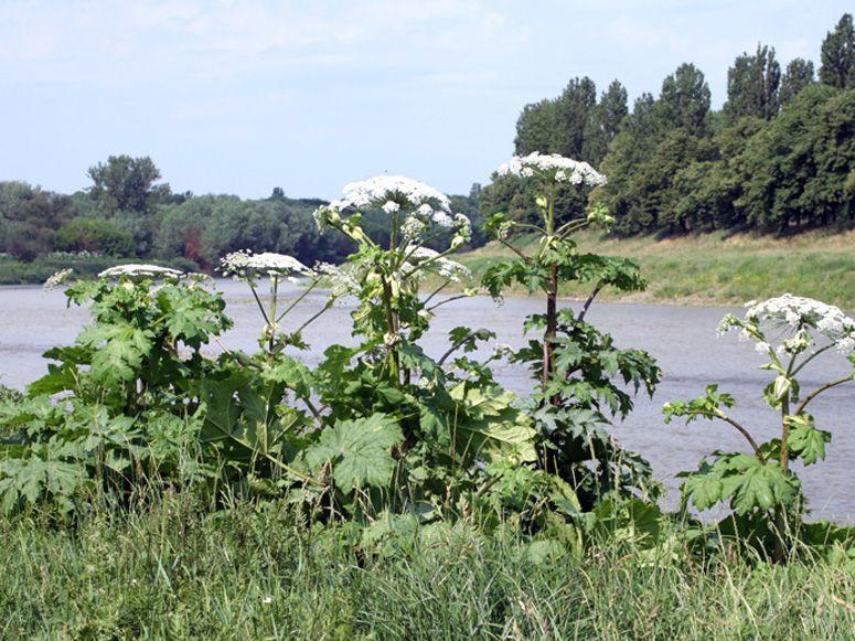 На Закарпатті останнім часом набула неабиякого поширення така небезпечна багаторічна рослина, як борщівник.