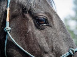 На Міжгірщині помер кінь, знущання над яким оприлюднили в соцмережах