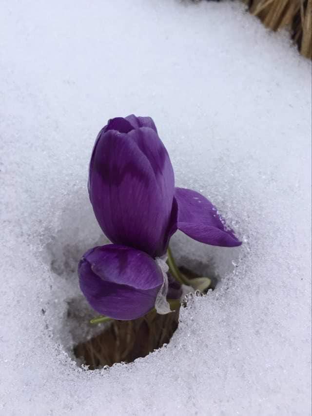 В мережі показали знакове фото із засніжених Карпат. Воно знаменує прихід весни та її перемогу над зимою, яка цього року дещо затягнулася.