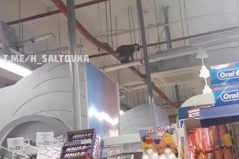 У Харкові в одному з магазинів мережі АТБ співробітникам довелося ловити мавпу, яка стрибала по конструкціях під стелею.