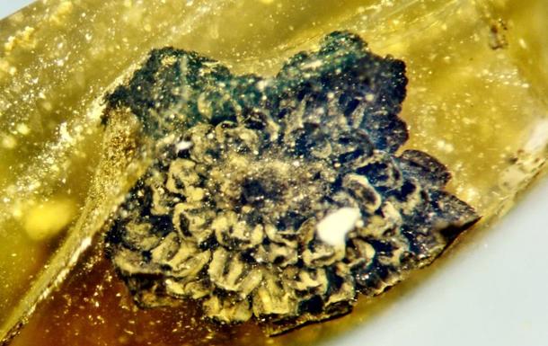 Бурштин може зберігати біологічні об'єкти десятки і навіть сотні мільйонів років, підкреслюють експерти.