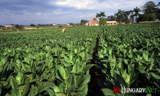 В Угорщині бракує робочої сили для збору врожаю тютюну