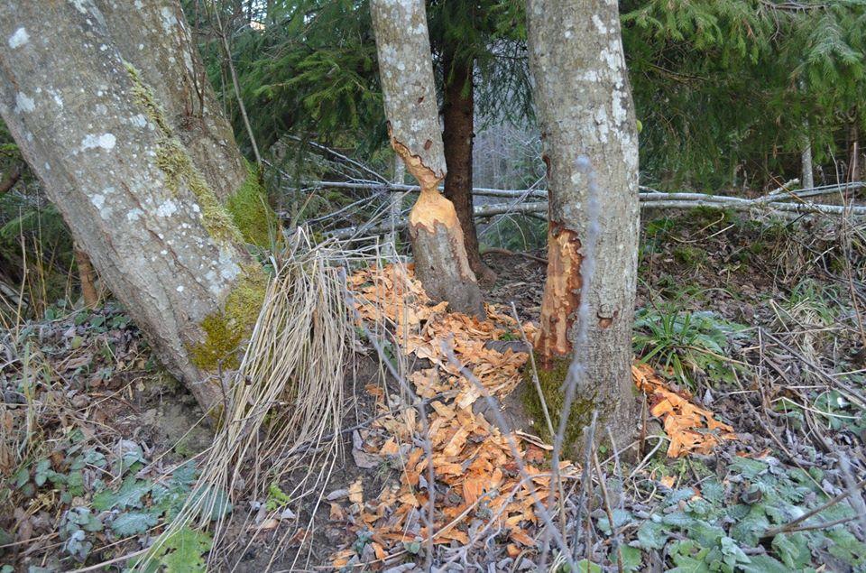 Працьовитих гризунів, які нещодавно поселилися в лісових угіддях ДП «Ясінянське ЛМГ», лісівники виявили вже у двох лісництвах господарства.