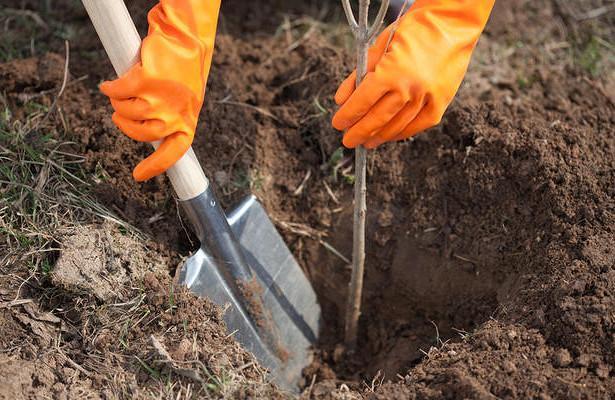 Лісівники Свалявського лісгоспу розпочали саджати молоді дерева.