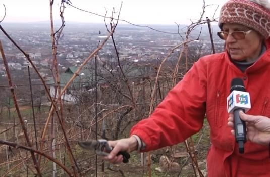 Виноградівська фермерка продемонструвала, як правильно обрізати виноград / ВІДЕО