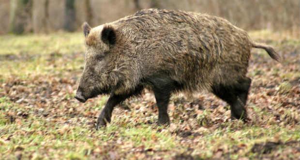 На початку нинішнього року в області створили 69 мисливських бригад, до складу яких увійшли 1150 осіб. Із третього лютого ними взято на облік 2930 диких свиней.