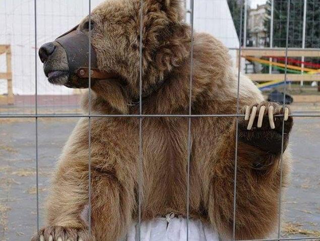 """Закарпатці більше не побачать живих ведмедів у цирках """"Шапіто"""""""