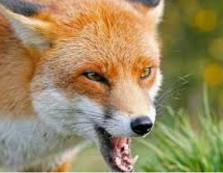 На Закарпатті лабораторно підтвердили сказ лисиці на Берегівщині