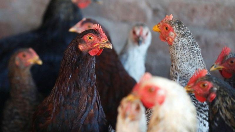 Американські центри з контролю та профілактики захворювань (CDC) закликали людей не цілувати домашню птицю на тлі спалаху сальмонельозу.